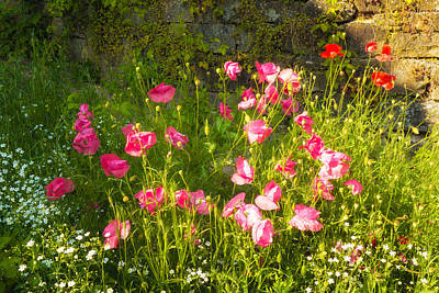 Photograph - Pink And Red Corn Poppies by Matthias Hauser