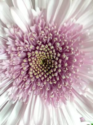 Pink And White Chrysanthemum Art Print