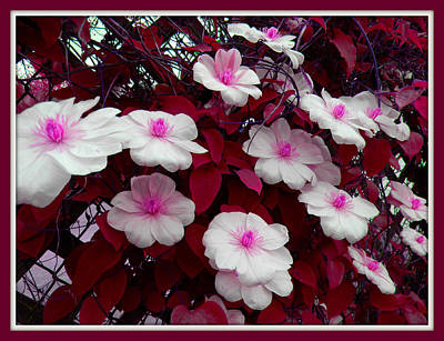 Pink And White Clematis  Art Print