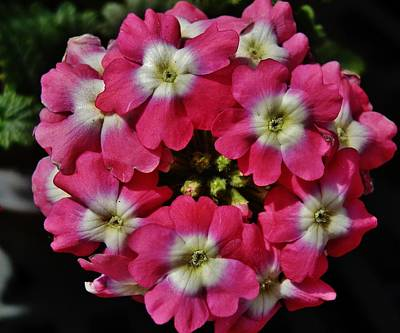 Photograph - Pink And White Cluster by VLee Watson