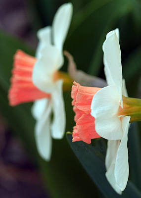 Photograph - Pink And White Daffodil by Kristy Jeppson