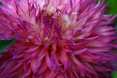 Pink And White Dahlia  Art Print by Denyse Duhaime