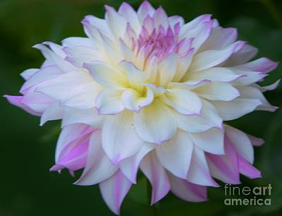 Pink And White Dahlia Art Print by Kathleen Struckle