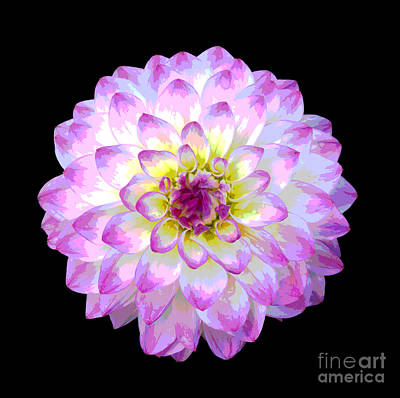 Pink And White Dahlia Posterized On Black Art Print by Rosemary Calvert