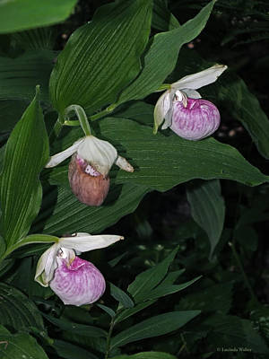 Photograph - Pink And White Lady's Slipper by Lucinda Walter