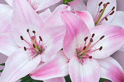 Photograph - Pink And White Lilies by Jane McIlroy