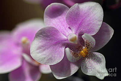 Photograph - Pink And White Orchid by Meg Rousher