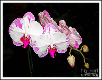 Photograph - Pink And White Orchids by Mariarosa Rockefeller