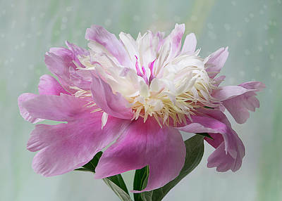 Photograph - Pink And White Peony Stem by Patti Deters