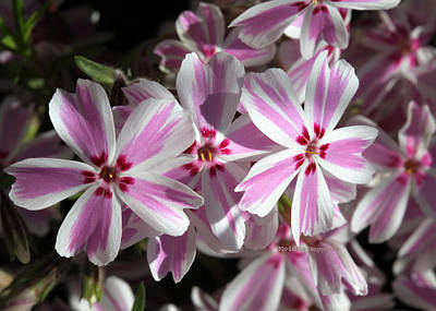 Photograph - Pink And White Phlox by Kristy Jeppson