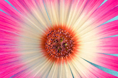 Vygie Photograph - Pink And White Vygie Close-up 01 by Jo Roderick