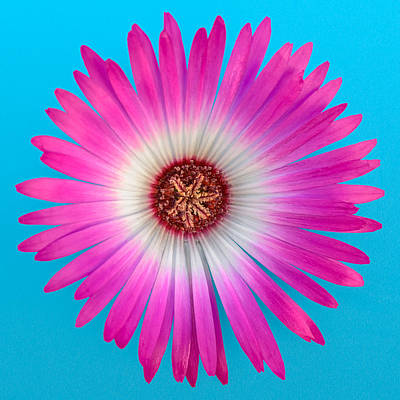 Vygie Photograph - Pink And White Vygie On Blue 01 by Jo Roderick