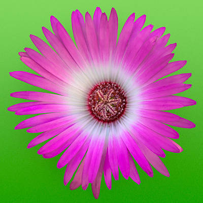 Vygie Photograph - Pink And White Vygie On Green 01 by Jo Roderick