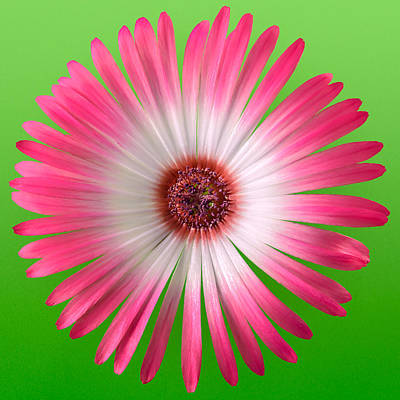Vygie Photograph - Pink And White Vygie On Green 02 by Jo Roderick