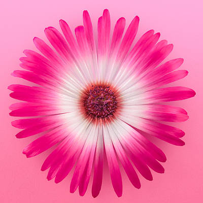 Vygie Photograph - Pink And White Vygie On Pink 01 by Jo Roderick
