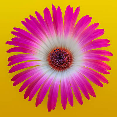 Vygie Photograph - Pink And White Vygie On Yellow 01 by Jo Roderick