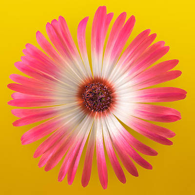 Vygie Photograph - Pink And White Vygie On Yellow 02 by Jo Roderick