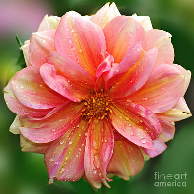 Photograph - Pink And Yellow Dahlia by Kaye Menner