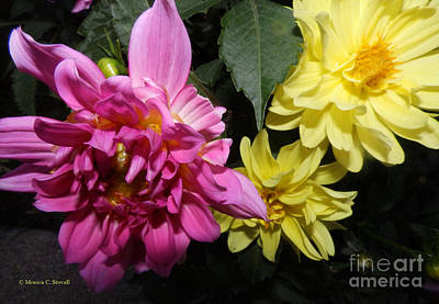 Photograph - Pink And Yellow Dahlia's Opening No. Cc62 by Monica C Stovall