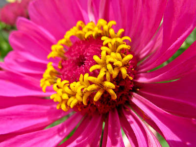 Photograph - Pink And Yellow Flower by Eva Kondzialkiewicz