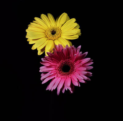 Photograph - Pink And Yellow Gerber Daisies. by Chris  Kusik