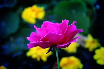 Photograph - Pink And Yellow by Milena Ilieva