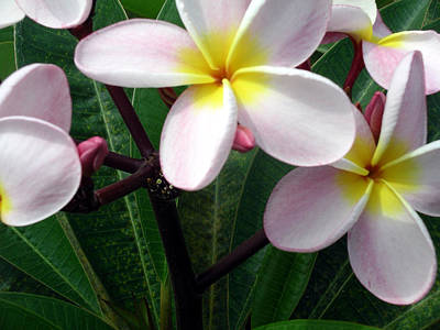 Art Print featuring the photograph Pink And Yellow Plumeria by Karen Nicholson