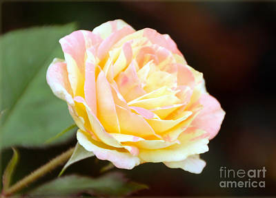 Photograph - Pink And Yellow Rose by Elizabeth Winter