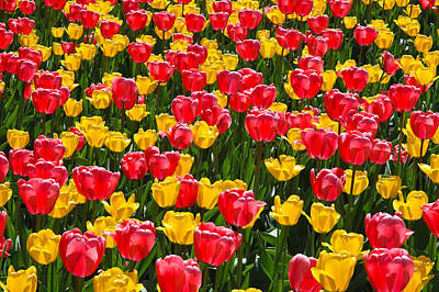 Photograph - Pink And Yellow Tulips by Rob Huntley