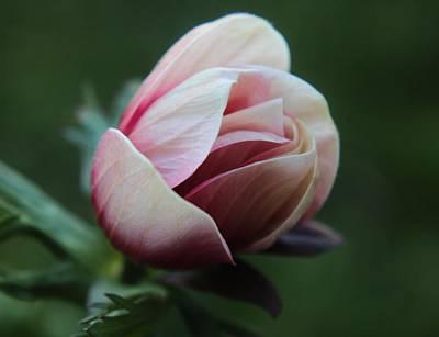Pink Anemone Flower Bud Art Print by Carol Welsh