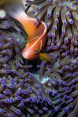 Hiding Photograph - Pink Anemonefish by Louise Murray