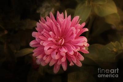 Photograph - Pink Aster by Marjorie Imbeau