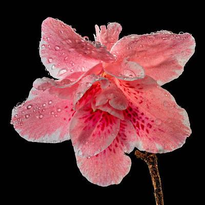 Photograph - Pink Azalea Drops 2 by Mary Jo Allen