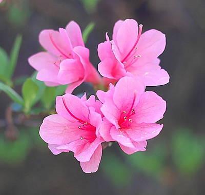 Stamen Photograph - Pink Azaleas by Cathy Lindsey