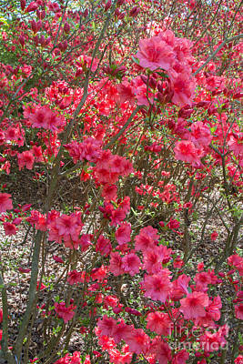 Photograph - Pink Azaleas by Chris Scroggins