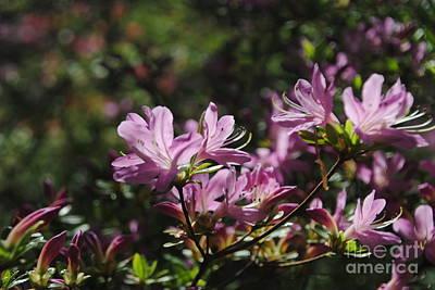 Photograph - Pink Azaleas by Jacqueline M Lewis