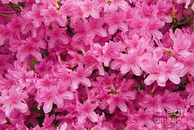 Photograph - Pink Azaleas by Jill Lang