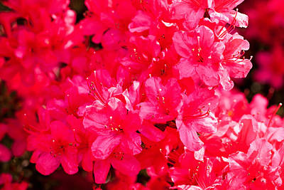 Photograph - Pink Azalea's by Michael Porchik