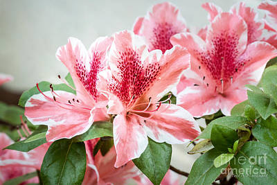 Photograph - Pink Azaleas by Todd Blanchard