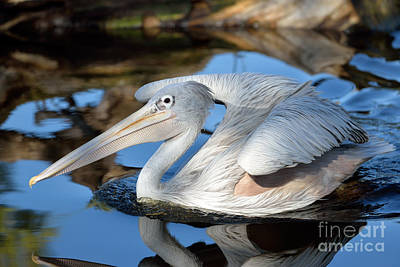 Feather Painting - Pink Backed Pelican by George Atsametakis