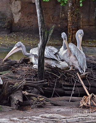 Photograph - Pink Backed Pelicans by Carol  Bradley