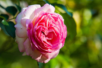 Single Rose Stem Photograph - Pink Beauty - Featured 3 by Alexander Senin