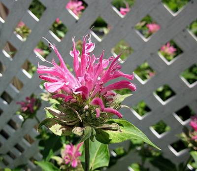 Photograph - Pink Bee Balm by MTBobbins Photography