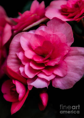 Photograph - Pink Begonia by Kathleen K Parker