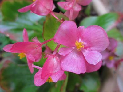 Pink Begonias Art Print by Barbara Yearty