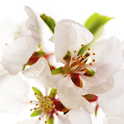 White Background Photograph - Pink Blossom by Elena Elisseeva
