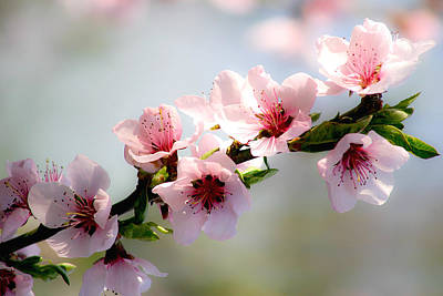 Photograph - Pink Blossom by Emanuel Tanjala
