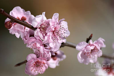 Pink Blossom Art Print by Joy Watson