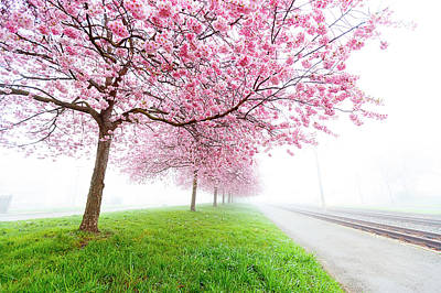 One Point Perspective Photograph - Pink Blossom On Trees by Wladimir Bulgar
