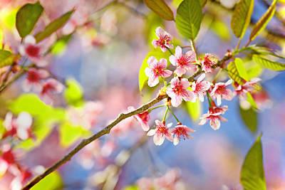 Photograph - Pink Blossom by Suradej Chuephanich
